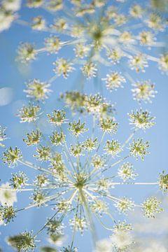 Wilde venkel tegen blauwe lucht van Elles Rijsdijk