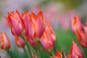 Tulpen in de wind van de buurtfotograaf Leontien