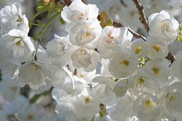 Witte Japanse bloesem in de zon van J..M de Jong-Jansen