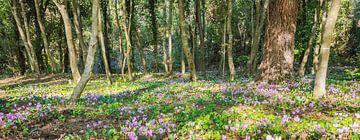 Wildes Alpenveilchen im Wald, Kroatien von Rietje Bulthuis