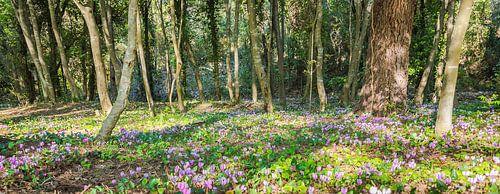 Wilde cyclamen in het bos, Kroatië