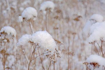 Boerenwormkruid in de sneeuw van