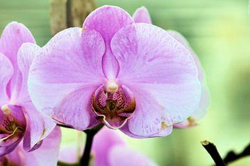 Orchidee von Michiel piet