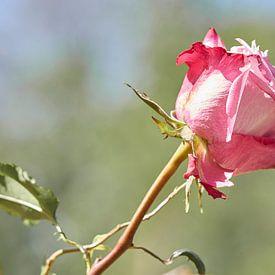 Eenzame rode roos van Angélique Vanhauwaert
