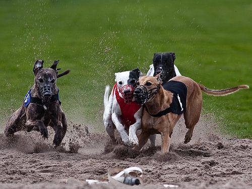 Dog race von