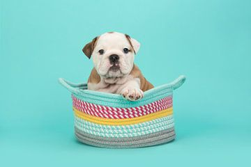Engelse bulldog pup in het blauw / Brown and white english bulldog puppy in a colored basket on a t