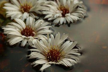 Weißer Herbststern von Pim van der Horst