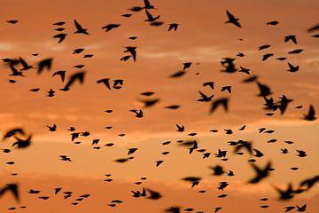Spreeuwen op trek bij zonsopkomst  sur Marcel  Klootwijk