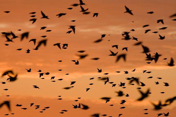 Spreeuwen op trek bij zonsopkomst  van Marcel  Klootwijk
