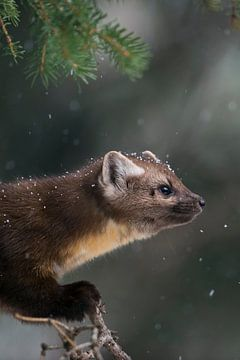 Pine Marten  / American Pine Marten ( Martes americana ) in light snowfall, sitting in a conifer tre van wunderbare Erde