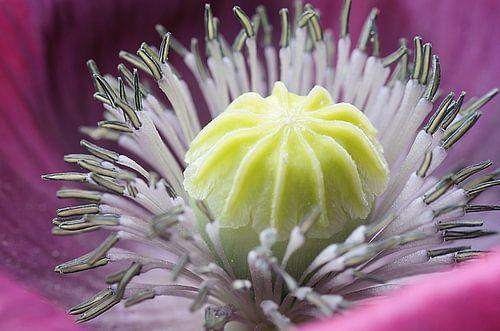 Art of a flower, Klaproos Macrofotografie