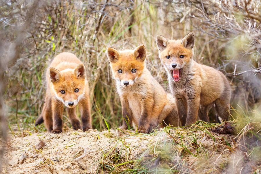 drie jonge vossen