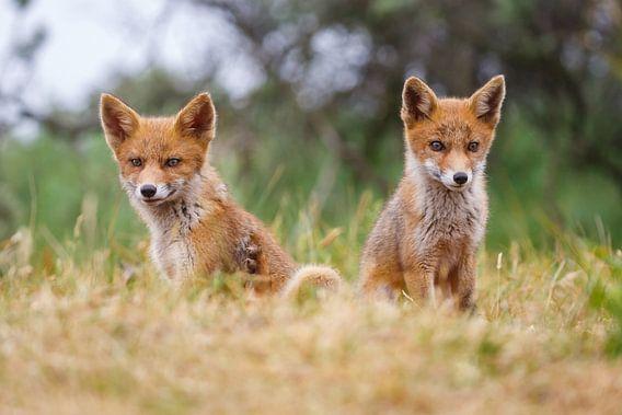 jonge vossen van Pim Leijen
