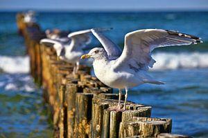Seagull has landed on the groynes van PhotoArt Thomas Klee