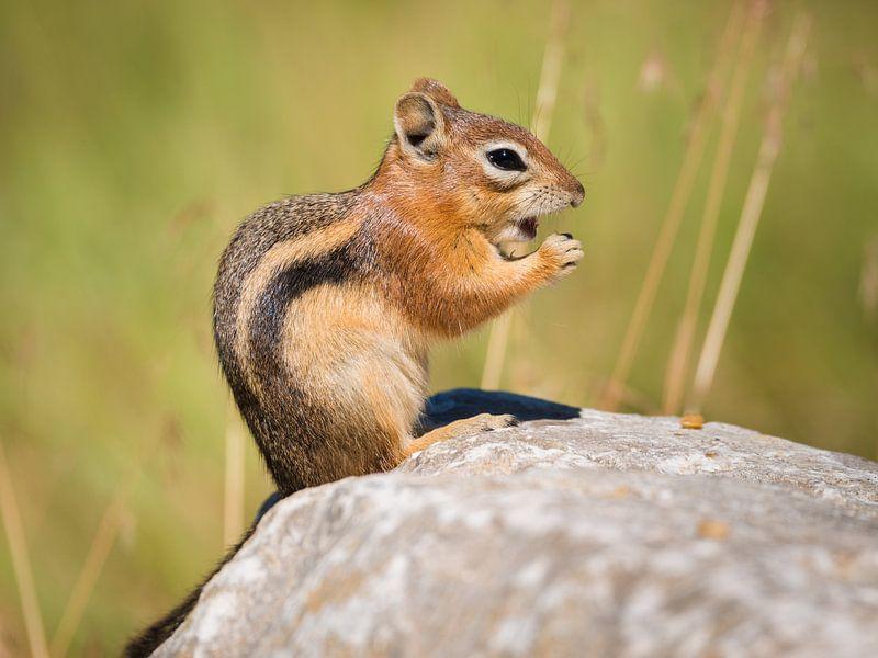 Streifenhörnchen von Denis Feiner