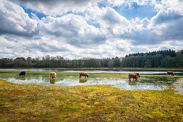 Eine Herde von Scottish Highlanders ... von Pascal Raymond Dorland