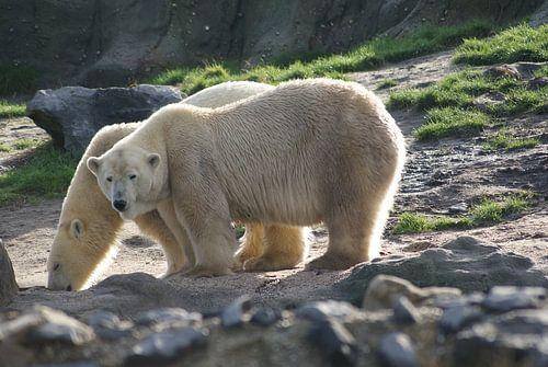 Ijsberen in paartijd