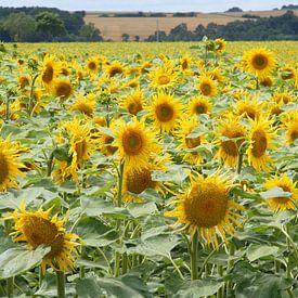 veld zonnebloemen sur Mirjam van Ginkel