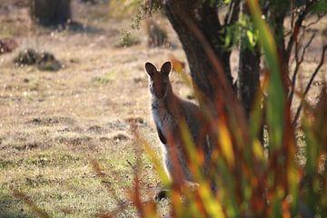 Neugieriges Wallaby hinter Pflanzen versteckt von Lau de Winter