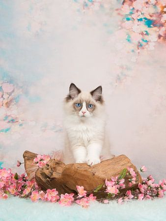 Ragdoll kitten / Blue eyed baby cat on a romantic setting