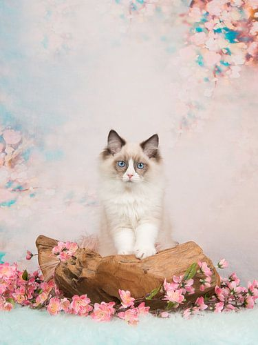 Ragdoll kitten / Blue eyed baby cat on a romantic setting von Elles Rijsdijk