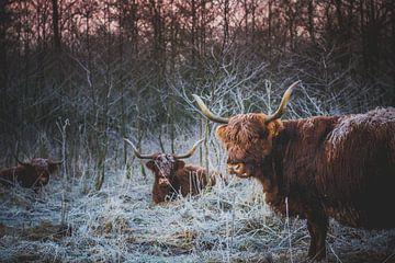 3 Schotse Hooglanders van