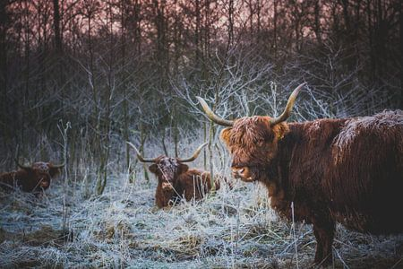 3 Schotse Hooglanders van Danny Tax