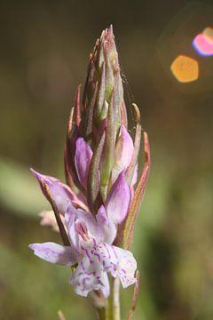 Gevlekte Orchis van Wim Zoeteman