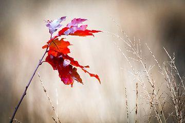 Rode herfstbladeren van René van der Horst