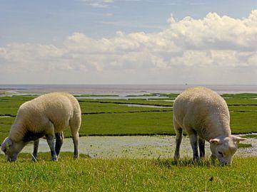 Schafe auf Terschelling von Jessica Berendsen