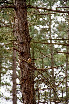 Roodborstje in een boom van Mark Scholten