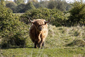 Schotse Hooglander van Sonja de Graaff