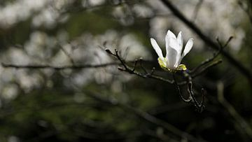 Einsame Magnolia von Gerda Hoogerwerf
