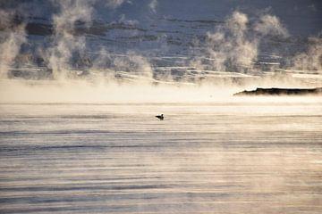 Eider eend in de stomende zee van Elisa Hanssen