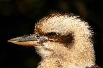Portret kookaburra. van