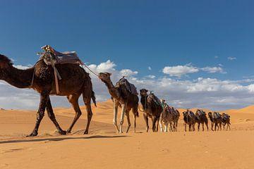 kamelen lopen door de woestijn in het westelijke deel van de Sahara-woestijn in Marokko van Tjeerd Kruse