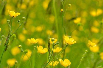 So fröhliche Butterblumen im Mai von J..M de Jong-Jansen