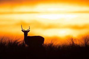 Silhouette eines Hirsches bei Sonnenuntergang von Dennis Bresser