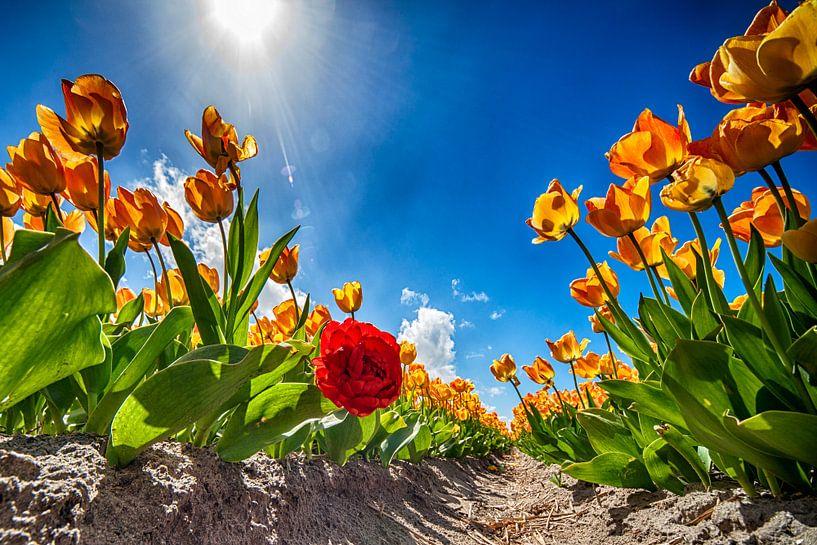 The wind beneath my Tulips van Pieter van Roijen