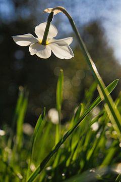 Blume im Gegenlicht von Joel Layaa-Laulhé