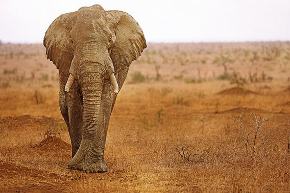Elephant with mud on it in South Africa van W. Woyke