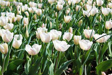 witte tulpen van laura van klooster