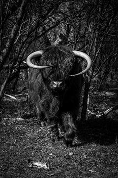 Schottischer Highlander, schwarz und weiß von Nynke Altenburg