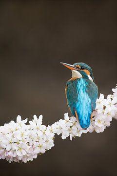 Eisvogel auf Kirschblüte von Jeroen Stel