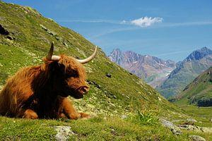 Ein Hochlandrind in den Brgen im Kaunertal (Tirol)