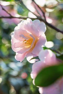Camellia in het zonlicht van Martina Weidner