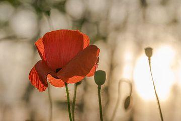 Mohnblume bei untergehender Sonne von Kurt Krause