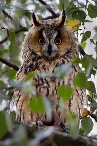 Ransuil in een boom