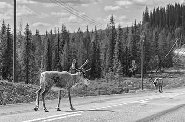 Rendieren in Zweden van Marcel Kerdijk