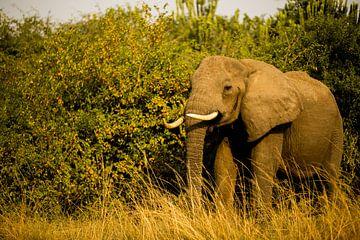 Olifant in Oeganda, Afrika van Laurien Blom